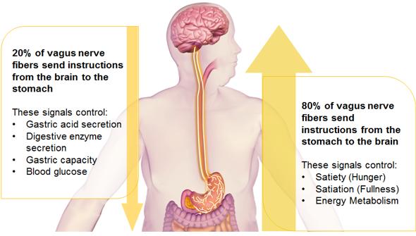 vagus-nerve-function-intermittent-vagal-nerve-blockade-for-morbid-obesity-houston